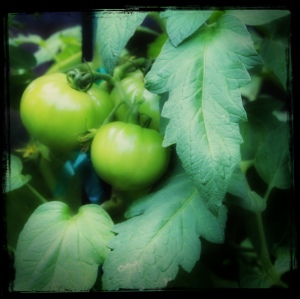 tomatoes / Photo by Amy Watson Smith