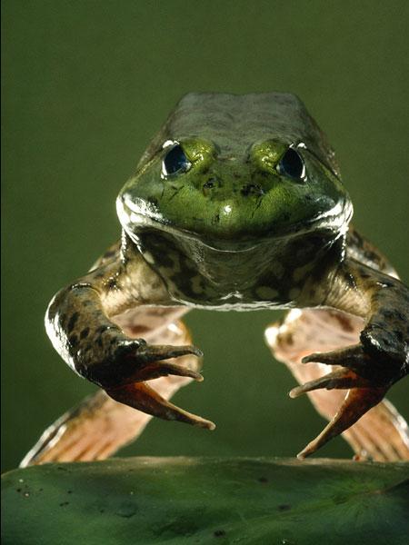 american-bullfrog_11266_600x450